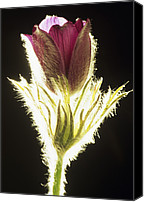Pulsatilla Vulgaris Canvas Prints - European Pasque Flower Canvas Print by David Aubrey