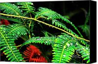 Puerto Rico Photo Canvas Prints - Ferns and Raindrops Canvas Print by Thomas R Fletcher