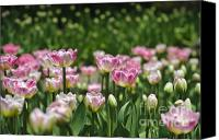 Royal Botanical Gardens Canvas Prints - Field of tulips Canvas Print by Christine Kapler