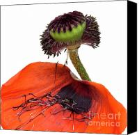 Flower Photo Canvas Prints - Flower poppy in studio Canvas Print by Bernard Jaubert