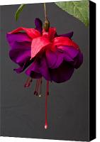 Fuchsia Canvas Prints - Fuchsia Canvas Print by Dawn OConnor