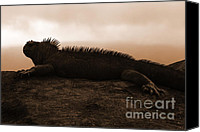 Galapagos Islands Canvas Prints - Galapagos Marine Iguana Canvas Print by Matt Tilghman