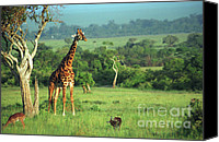 Giraffes Canvas Prints - Giraffe Canvas Print by Sebastian Musial
