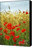 Meadows Canvas Prints - Grain and poppy field Canvas Print by Elena Elisseeva