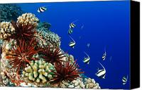 Urchin Canvas Prints - Hawaiian Reef Scene Canvas Print by Dave Fleetham - Printscapes