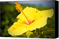 Flower Prints Greeting Cards Canvas Prints - Hibiscus Canvas Print by Christopher  Ward