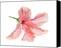 Delicate Bloom Canvas Prints - Hibiscus Canvas Print by Nicholas Burningham