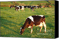 Azoren Canvas Prints - Holstein cattle Canvas Print by Gaspar Avila