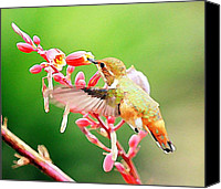 Annas Hummingbird Canvas Prints - Hummer Art 2 Canvas Print by Fraida Gutovich