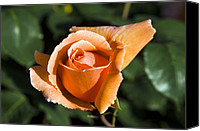 Joey Canvas Prints - Hybrid Tea Rose (rosa just Joey) Canvas Print by Georgette Douwma