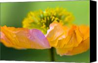 Yellow Photo Canvas Prints - Iceland Poppy Canvas Print by Silke Magino