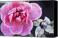 Icy Canvas Prints - Icy rose Canvas Print by Elena Elisseeva