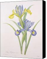Botanical Engraving Canvas Prints - Iris xiphium Canvas Print by Pierre Joseph Redoute