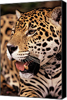 Fn Canvas Prints - Jaguar Panthera Onca Portrait, Guyana Canvas Print by SA Team