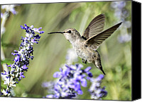 Annas Hummingbird Canvas Prints - Just Hovering  Canvas Print by Saija  Lehtonen