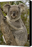 Koala Canvas Prints - Koala Phascolarctos Cinereus Portrait Canvas Print by Pete Oxford