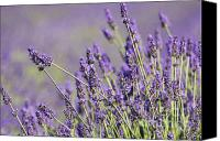 Mother Earth Canvas Prints - Lavender Love Canvas Print by Anahi DeCanio