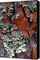 Textured Canvas Prints - Lichen On Tree Bark Canvas Print by John Foxx
