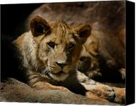Lion Canvas Prints - Lion Cub Canvas Print by Anthony Jones