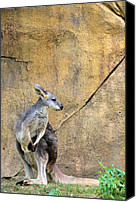 Wallaby Canvas Prints - Looking Back Canvas Print by Jan Amiss Photography