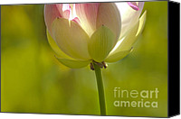 Lotus Bud Canvas Prints - Lotus Detail Canvas Print by Heiko Koehrer-Wagner