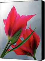 Two Red Tulips Canvas Prints - Love Canvas Print by Rona Black