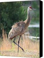 Sandhill Crane Canvas Prints - Lovely Sandhill Crane Canvas Print by Carol Groenen