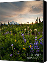Aster Canvas Prints - Lupine Sunset Canvas Print by Mike  Dawson