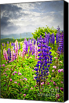 Lupine Canvas Prints - Lupins in Newfoundland meadow Canvas Print by Elena Elisseeva