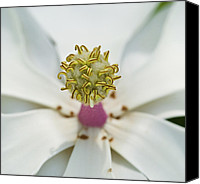 Magnolias Canvas Prints - Magnolia Bloom Canvas Print by Rich Franco