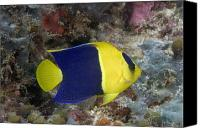 Dave Canvas Prints - Malaysia Marine Life Canvas Print by Dave Fleetham - Printscapes