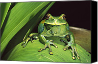 Fun Frog Canvas Prints - Marsupial Frog Gastrotheca Orophylax Canvas Print by Pete Oxford