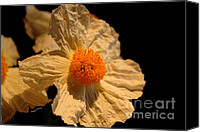 Flower Images Canvas Prints - Matilija Poppy Canvas Print by Cheryl Young