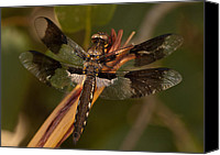 Meadowhawk Canvas Prints - Meadowhawk Canvas Print by Bobbi Smith