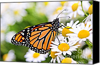 Colourful Canvas Prints - Monarch butterfly Canvas Print by Elena Elisseeva