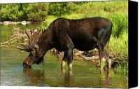 Bull Moose Canvas Prints - Moose Canvas Print by Sebastian Musial