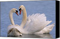 Cygnus Olor Canvas Prints - Mute Swan Cygnus Olor Pair Courting Canvas Print by Flip De Nooyer