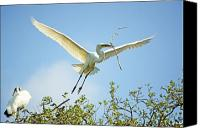 Great Egret Canvas Prints - Nest Building Canvas Print by Kenneth Albin