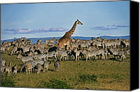 Giraffes Canvas Prints - Odd Man Out Canvas Print by Michele Burgess