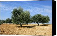 Olive Oil Canvas Prints - Olives tree in Provence Canvas Print by Bernard Jaubert