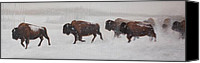Buffalo Painting Canvas Prints - On The Move Canvas Print by Tammy  Taylor