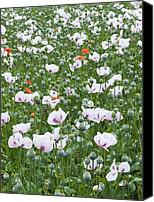 Blandford Canvas Prints - Opium Poppies (papaver Somniferum) Canvas Print by Adrian Bicker