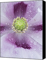 Blandford Canvas Prints - Opium Poppy (papaver Somniferum) Canvas Print by Adrian Bicker