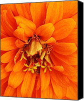 Zinna Canvas Prints - Orange Splendor Canvas Print by Bruce Bley
