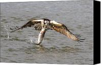 Fish Prints Canvas Prints - Osprey Canvas Print by Paul Marto