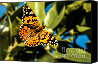 Insect Photography Canvas Prints - Painted Lady  Canvas Print by Robert Bales