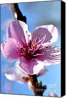 Tree Blossoms Canvas Prints - Peach Tree Blossom Canvas Print by Thomas R Fletcher