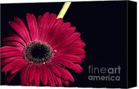 Ecology Pyrography Canvas Prints - Pink Gerbera Canvas Print by Soultana Koleska