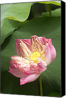 Lotus Canvas Prints - Pink Lotus Canvas Print by Beng Lim