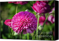 Decorative Floral Canvas Prints - Pink Ranunculus Canvas Print by Joan Carroll
